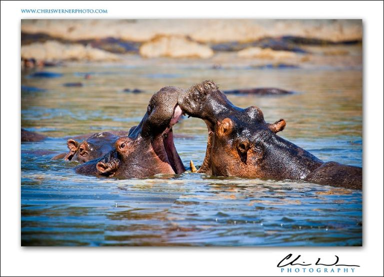 Hippos in Serengeti National Park, Tanzania Safari Photography.