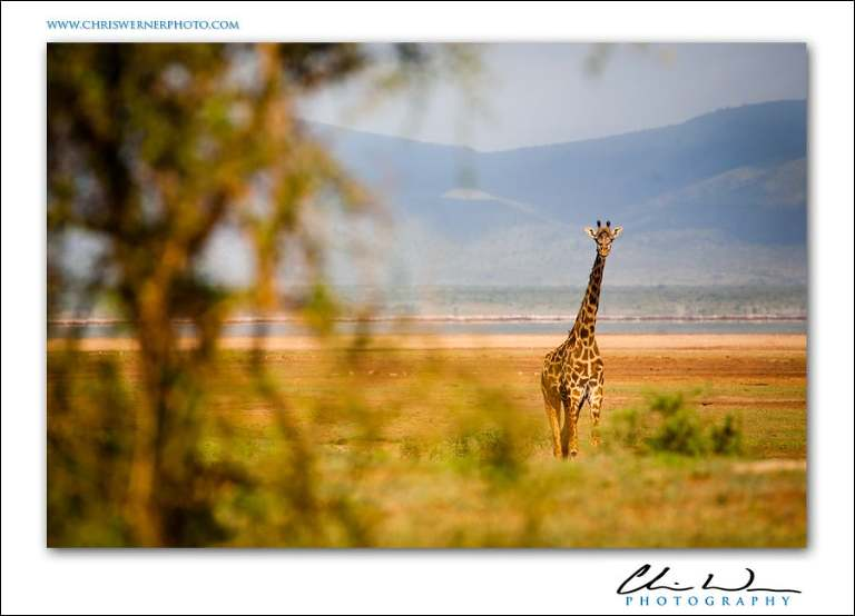 Tanzania Safari Photography, giraffe.