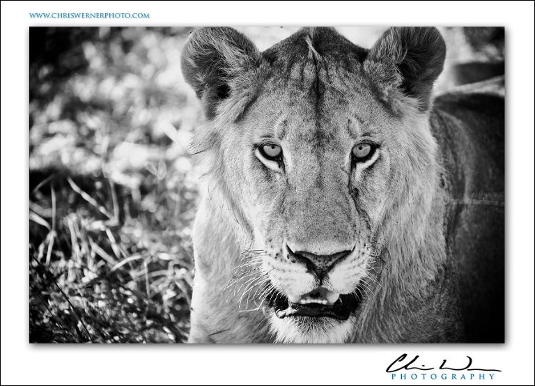 African lion, Tanzania Safari Photography.