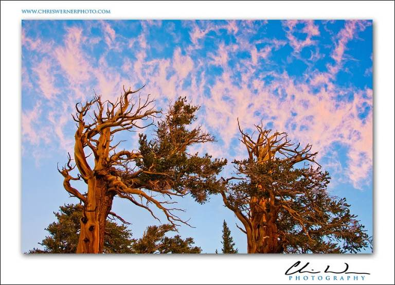 Foxtail Pines, Sierra Nevada Photography.